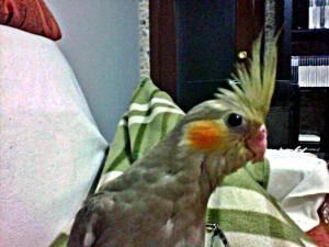Calopsitte, petit perroquet
