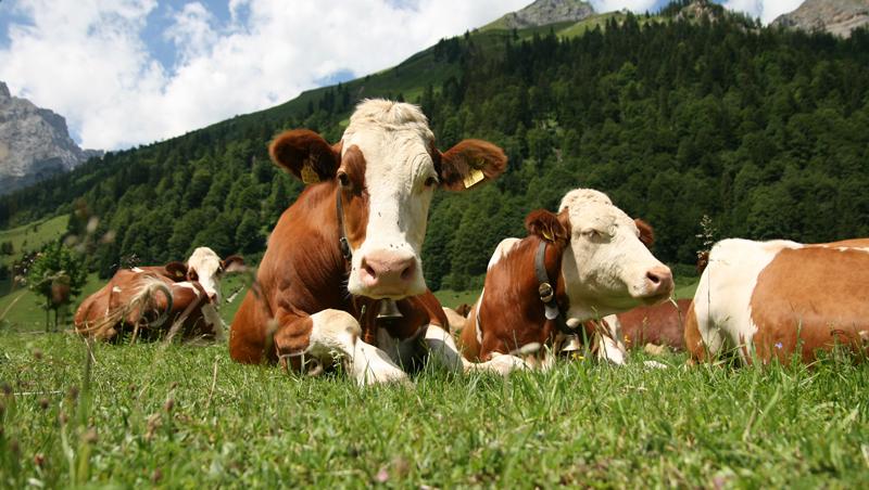 Vaches suisses au pré