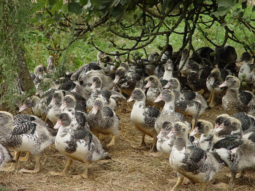 Canards en élevage fermier traditionnel, en liberté, sous un figuier