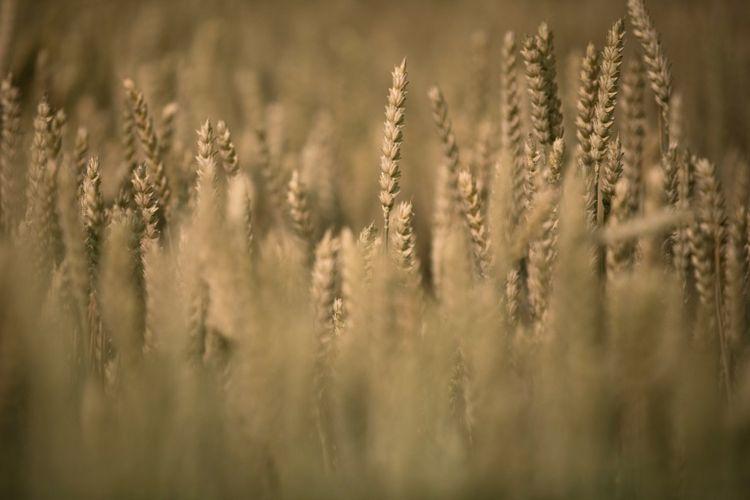 L'agriculture bio vers l'autosuffisance en céréales et protéagineux