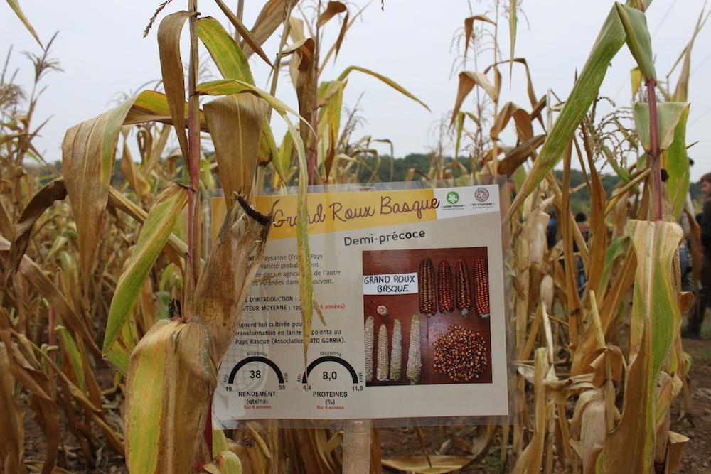 Pour se libérer des semenciers, des agriculteurs redécouvrent le maïs population