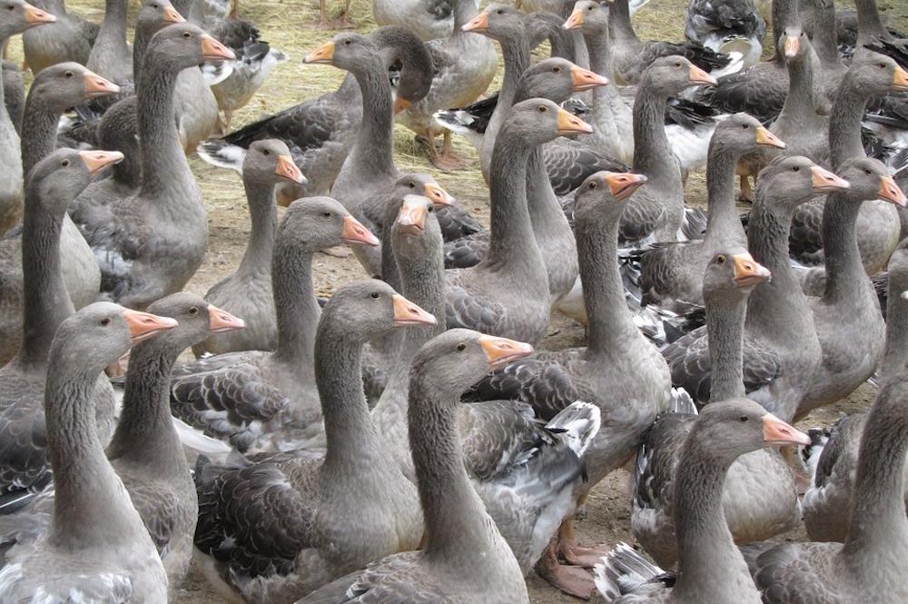 La grippe aviaire ne tarira pas le foie gras, mais menace l'élevage fermier