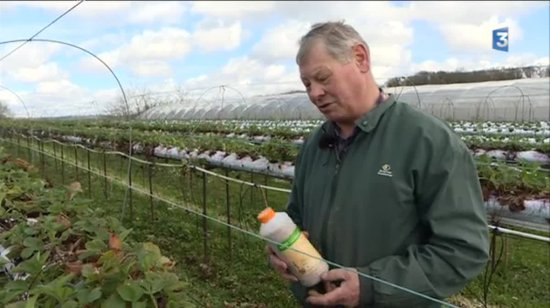 Un fraisiculteur tenant une bouteille de pesticide devant ses plants de fraises