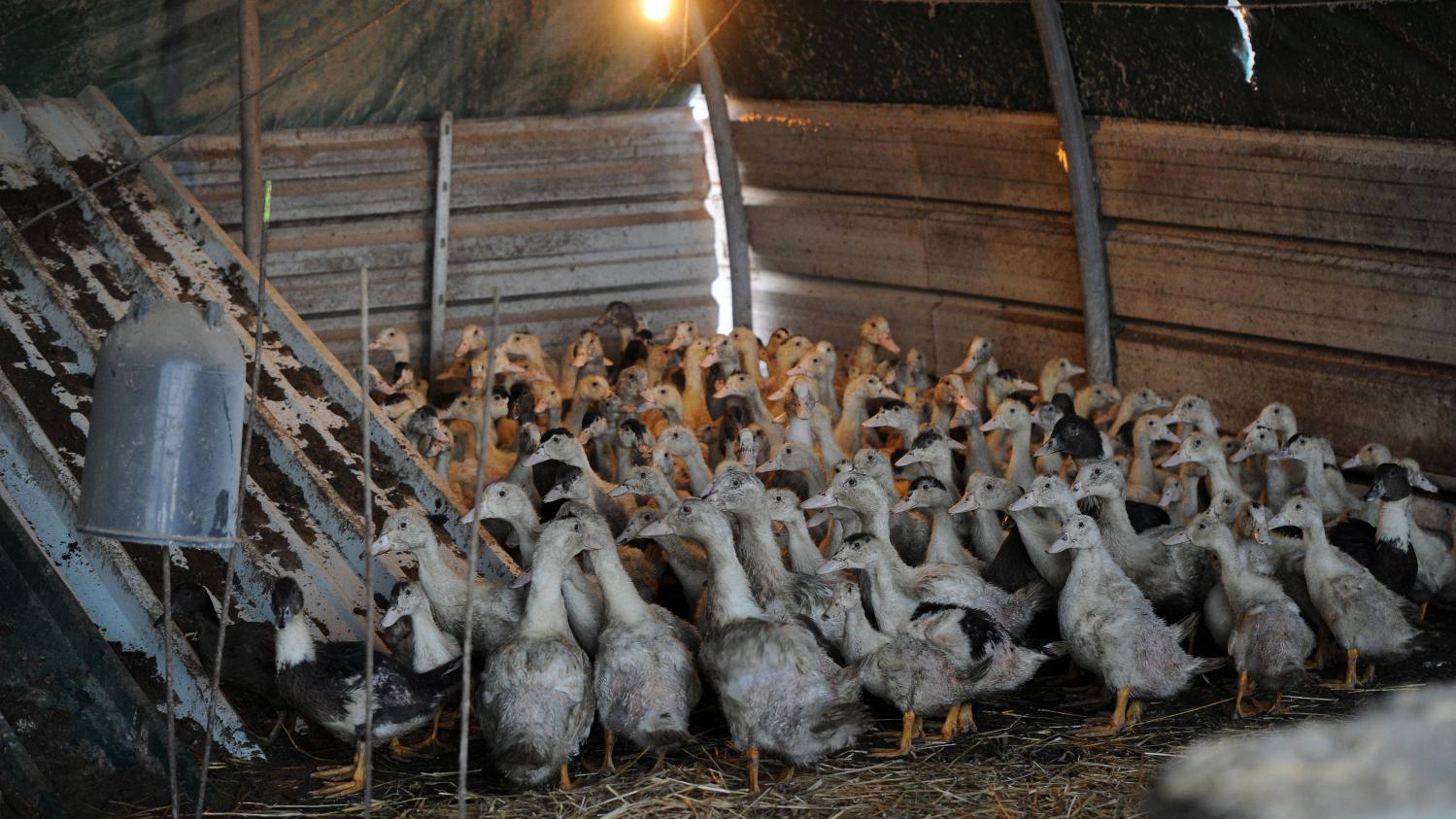 Canard dans un hangar d'élevage