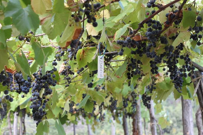 Des paysans cévenols font renaître des vins issus des cépages «interdits»