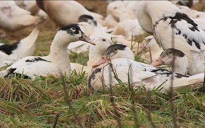 Dans le Gers, la filière du gras est en convalescence à 3 mois des fêtes