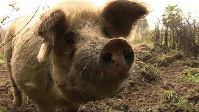 """Eauze (Gers) : cochon perdu attend son propriétaire au service des """"objets trouvés"""""""